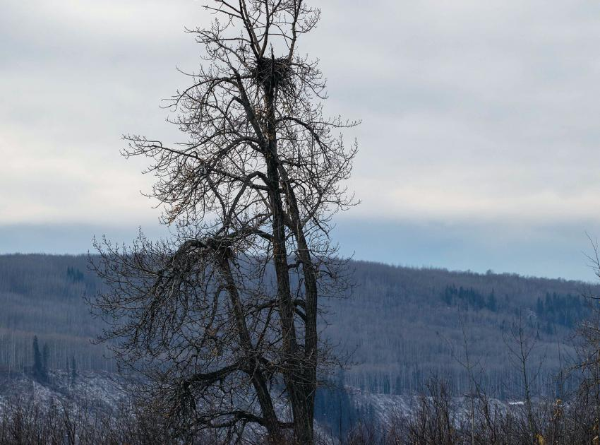 An inactive Bald Eagle's nest on the Peace River prior to removal. Every effort is made to protect the nests, and approximately 40 new eagle nesting platforms are being built near the shoreline of the future Site C reservoir. (October 2020)