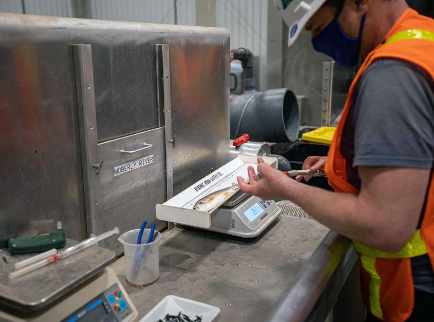 A biologist samples and tags a mountain whitefish at the temporary upstream fish passage facility before it is released back into the river upstream of the dam site. (June 2021)