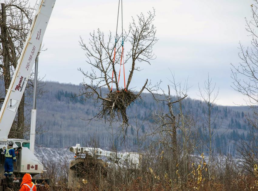 This nest was part of an artificial nesting platform that will be installed near the shore of the future Site C reservoir. The nest was transported to a storage yard, where it remained for a few months while the new home was prepared. (October 2020)